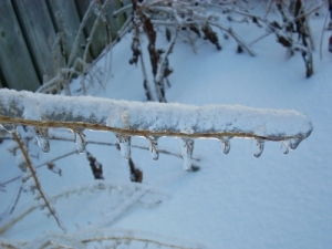 Ice-covered Plant