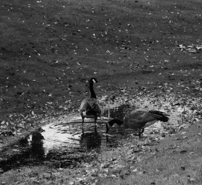 Canadian Geese (B/W)