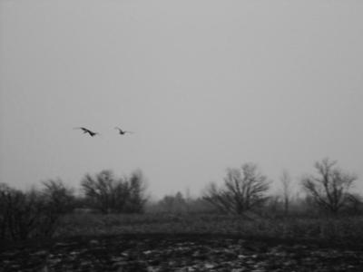 Geese (black & white))
