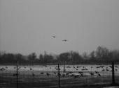 Geese2 (black & white))