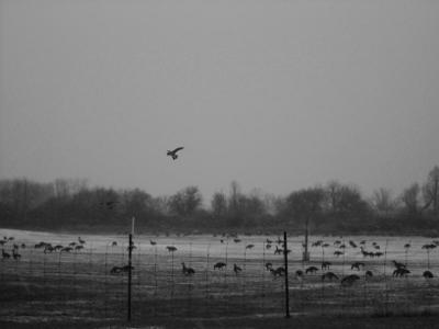 Geese 3(black & white)