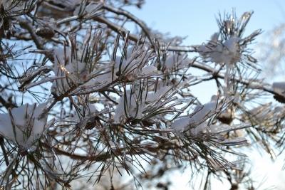 Pine Needles & Ice