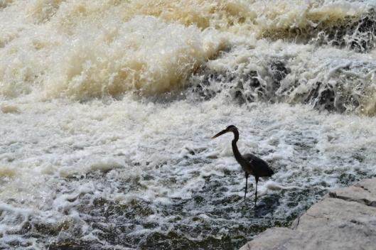 Heron in the Waterfall