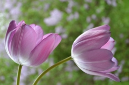 Pale Purple Tulips
