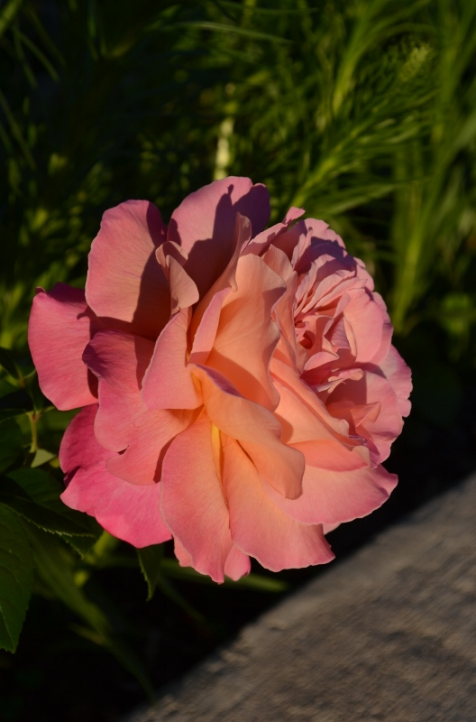 Pink Rose - Sideview
