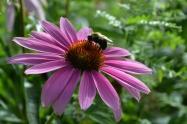Bumblebee on pink echinacea 2