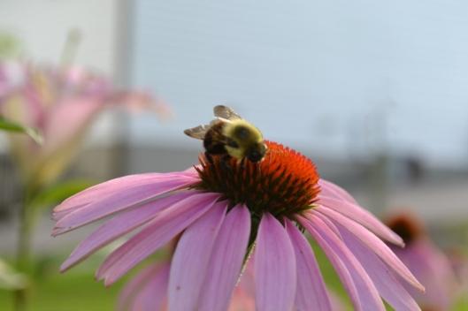 Bumblebee on pink echinacea 1