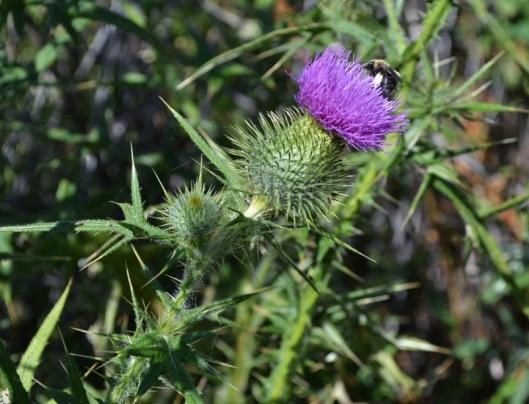 Bumblebee on Purple Thistle