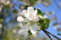 apple blossoms (800x533)