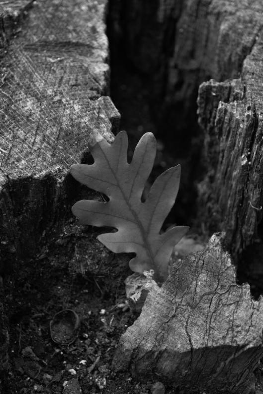 oak-leaf_b-w