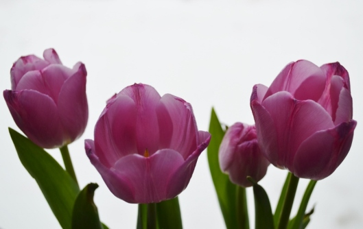 Winter Tulips - April (6) (800x506)
