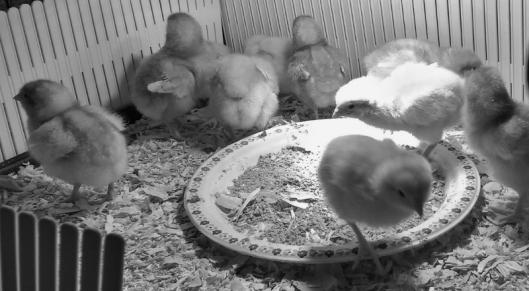 chicks (2) (800x441).jpg