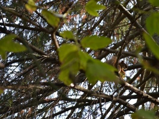 Red Squirrel Oct 26_18 (1) (800x597)