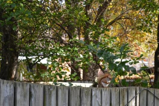 Red Squirrel Oct 26_18 (2) (800x534)