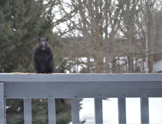 BLack Squirrel Feb 2019 _ed(13)