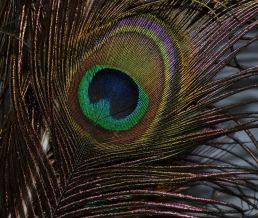 Peacock (1)_ed