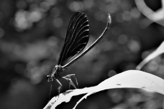B-W Dragonfly1