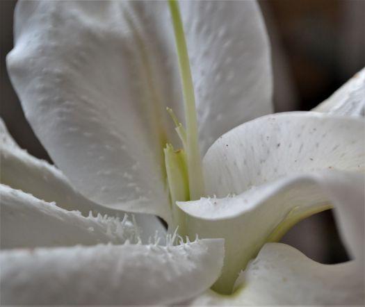white lily 2_ed