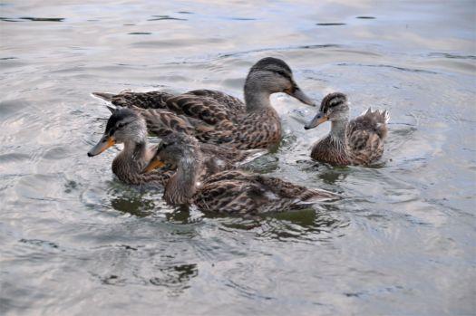 Duck 3_ed