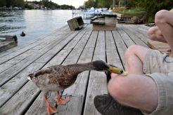 Duck 5_ed