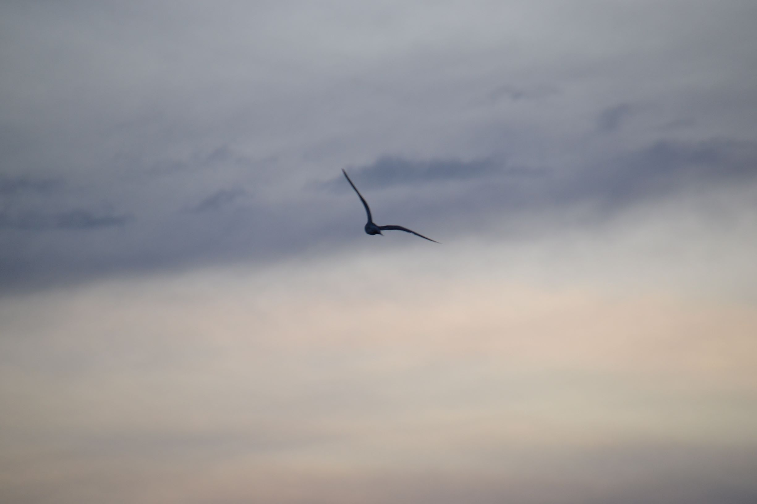 Seagull Silhouette_ed