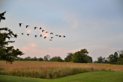 geese2_ed