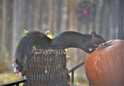 Pumpkin Squirrel_ed