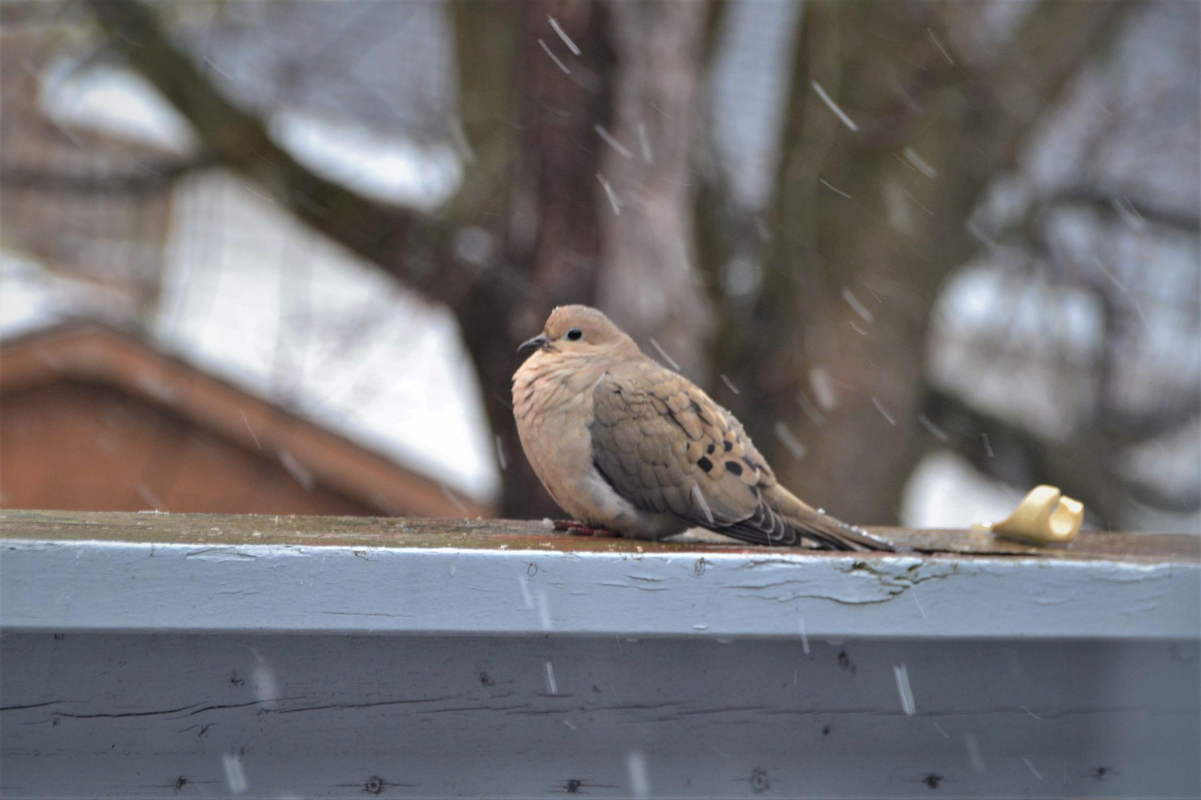 Mourning Dove_ed
