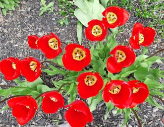 red tulips_ed