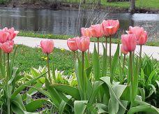 tulips pink_ed