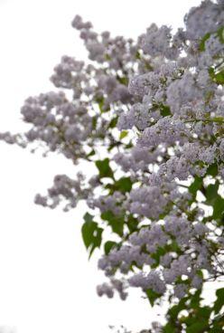 Lilacs 2020