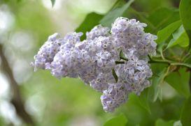 Lilacs 2020ed