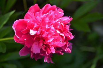 Pink Peony 4_ed