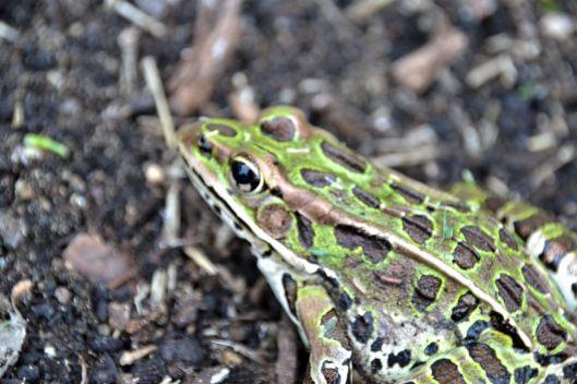 Frog 2020