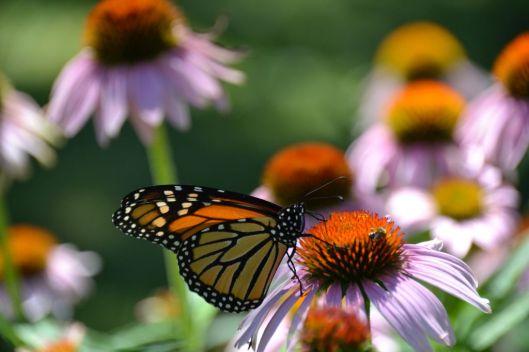 Monarch 2_ed